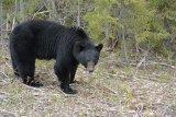 Medvěd černý (baribal) nebyl členem naší výpravy