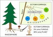 Ectomycorrhiza