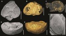 Potravní sondy ve složených očích trilobitů rodu Cyclopyge. Délka úsečky = 1 cm. Foto Petr Kraft (A, D, F) a Jana Bruthansová (B, C, E; počítačová tomografie).