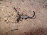 Scorpion found in the sediment.