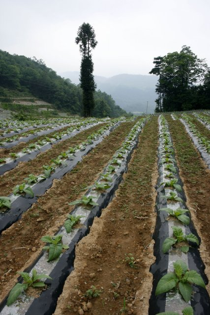 Tabákové pole na povrchu krasových hornin. Oblast města Xiaonanhai.